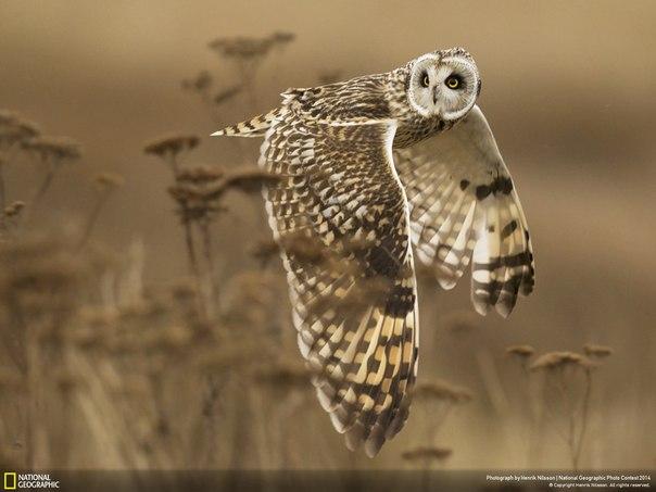 Болотная сова повернула голову, чтобы еще раз проверить, не пропустила ли чего, облетая свои охотничьи угодья. Автор фото: Henrik Nilsson.