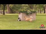 Плюшевый пес разыграл собак в парке
