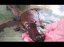 Hand Feeding Playing With A Friendly Platypus