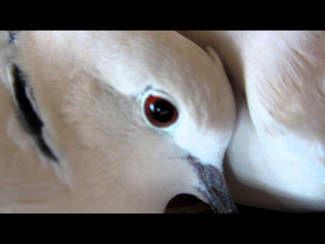 Doves cooing