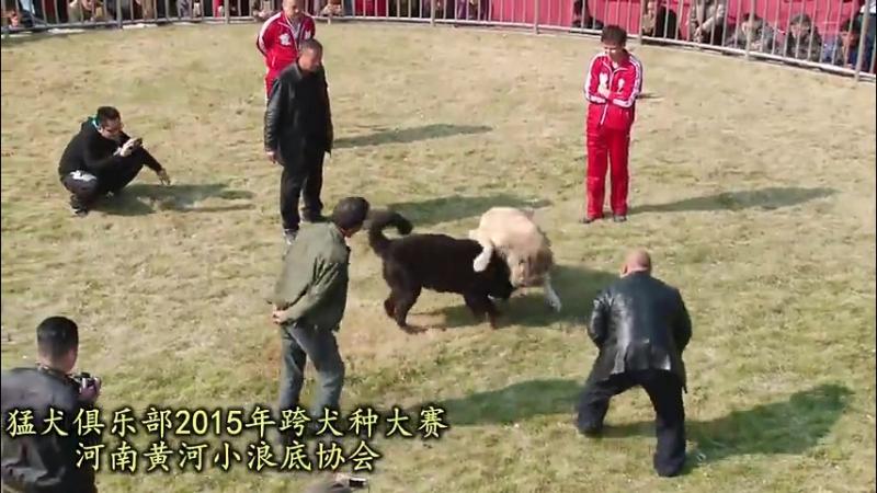 Собачьи бои Турнир в Китае 2015 САО алабай vs тибетский мастифф