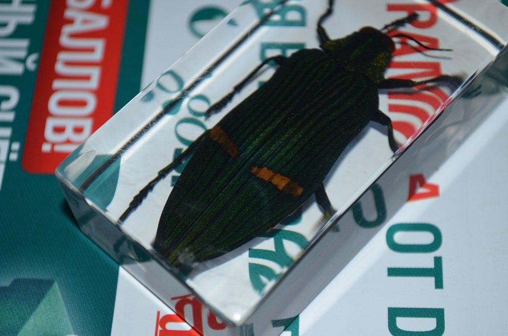 Насекомые №71 - Жук-златка Катоксанта Опулента (Catoxanta opulenta)