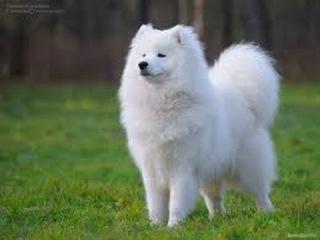 Порода собак. Самоедская лайка