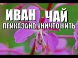 Иван ЧАЙ!!!   ПОЧЕМУ ЕГО БЫЛО ПРИКАЗАНО УНИЧТОЖИТЬ? Легенда об иван-чае!