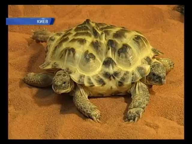 Двухголовая черепаха из Киева