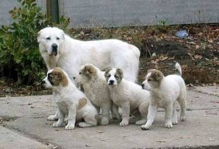 Central Asian Shepherd Dog For Sale In Canada