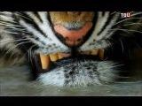 Тигры людоеды  (Документальный фильм)  24.02.2015