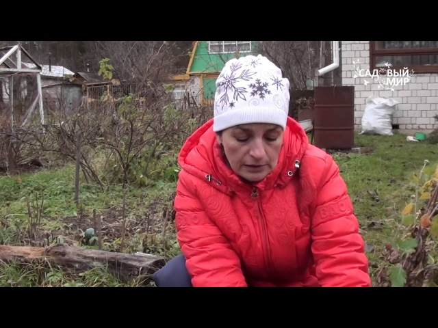 Зимовка хризантем в Средней полосе Сайт Садовый мир