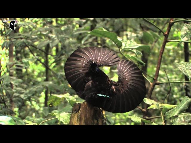 Щитоносная райская птица Виктории / Victoria's Riflebird / Ptiloris victoriae
