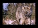 Песня старого волка