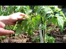 Пасынкование томатов