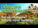 🍇 Когда обрезать виноград Какую лозу выбрать при обрезке