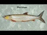 Русская рыбалка 3.99 желтощек