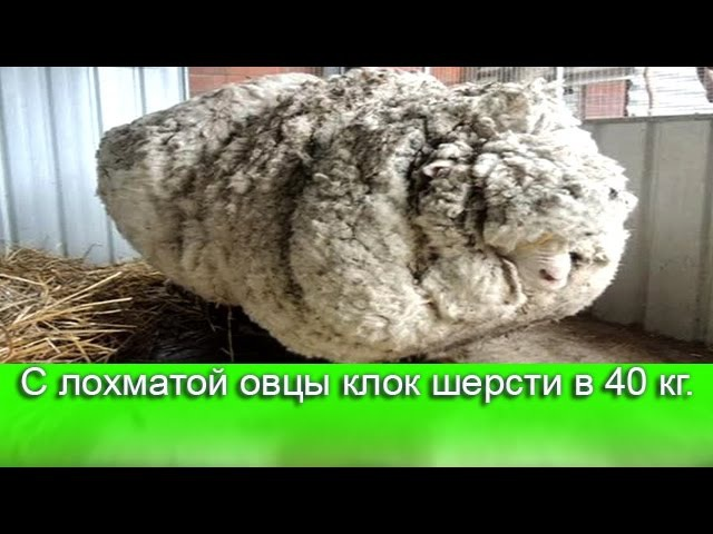 С лохматой овцы клок шерсти в 40 кг.