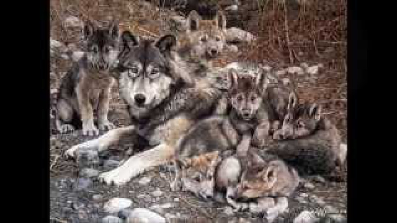 Волк отмстил, но отомстил без крови...