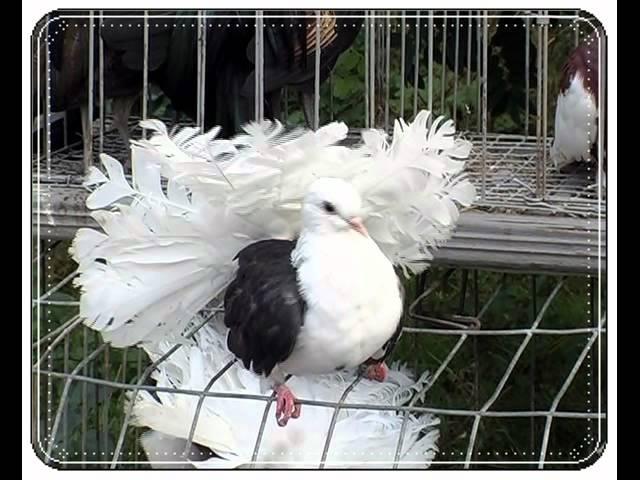 Тимур Темиров-Моя голубка.