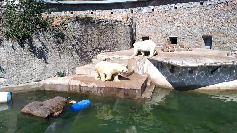 Танцующий белый медведь в зоопарке Санкт Петербурга
