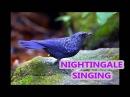 1 Час Прекрасное Пение Соловья Nightingale Singing Forest Birds