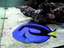 Рыбка - Голубой Хирург