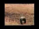 Этот видеоролик перевернёт ваше представление о медовом барсуке.