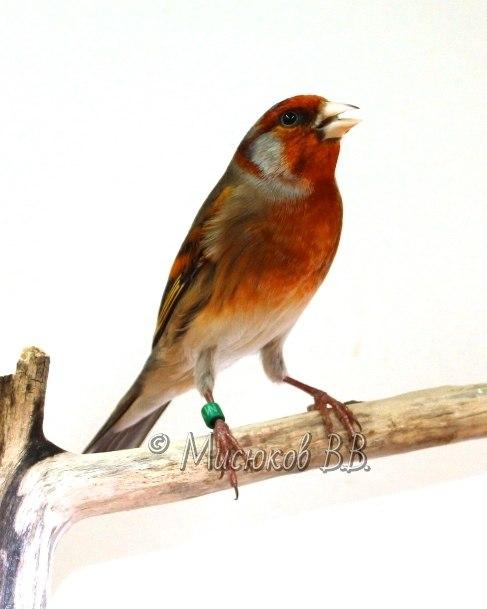 Фотографии моих птиц  7lfBeqWiKl8