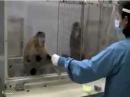 Чувство справедливости у обезьян история морали
