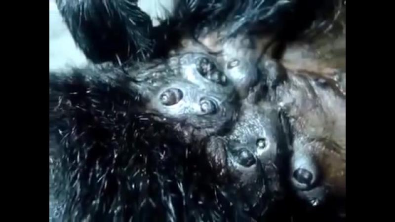 Паразиты в обезьяне, личинки овода