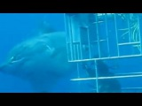 Самая большая пойманная акула, 6 метров