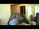 Самая большая и дорогая кошка на планете