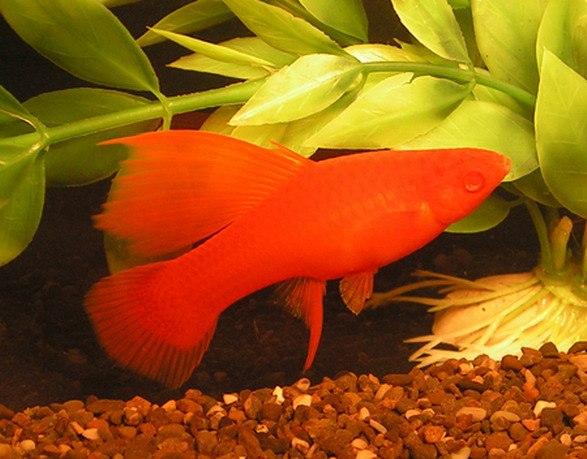 Меченосец, аквариумная рыбка меченосец: содержание