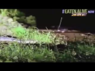 Змея съела человека.Анаконда съела человека заживо.