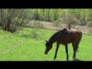 Далеко, далеко Ускакала в поле молодая лошадь! Так легко, так легко - Не догонишь, не поймаешь, не вернешь!