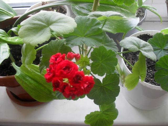 Использование Йода для Герани Пеларгонии для пышного цветения