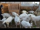 Содержание коз в ЛПХ Марины Каманиной