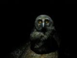 Птенец ушастой совы (Asio otus). Hroftnir #02