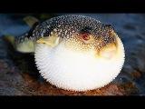 Ядовитая рыба Фугу мигрировала на крымское побережье Черного моря