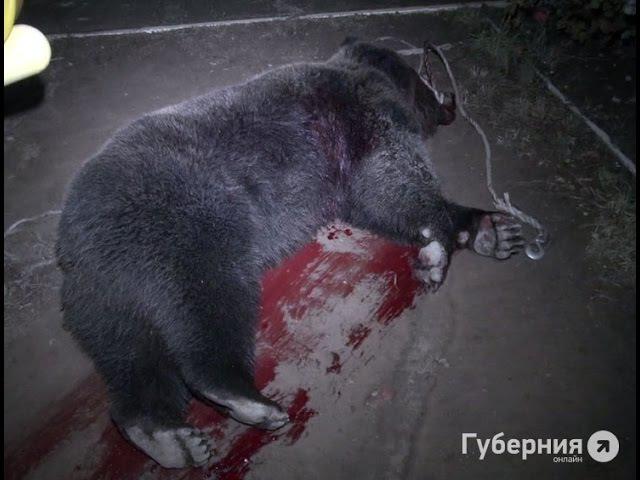 Бурого медведя застрелил снайпер в Хабаровске MestoproTV