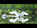 Вальс Под небом Парижа (Красивые Лебеди)