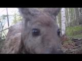 Самец кабарги в Байкало-Ленском заповеднике
