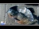 Блогер GConstr заценил! Пираньи убивают друг друга. Piranhas kil. От Alexander Kondrashov