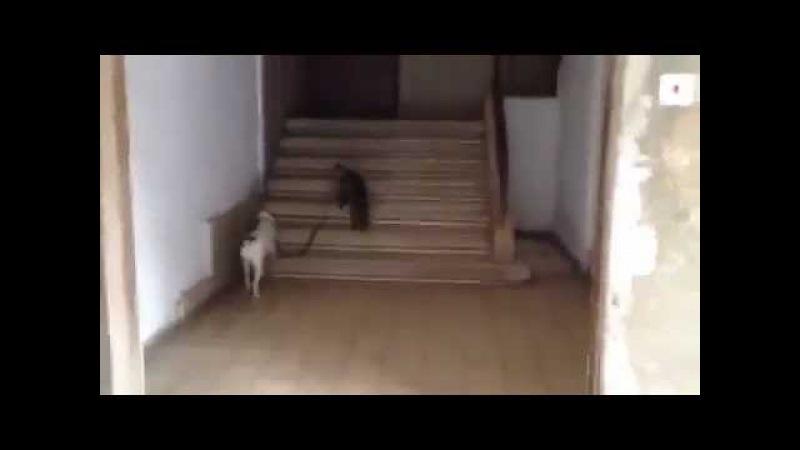 Кошка тащит собаку домой (Пошли собака домой)