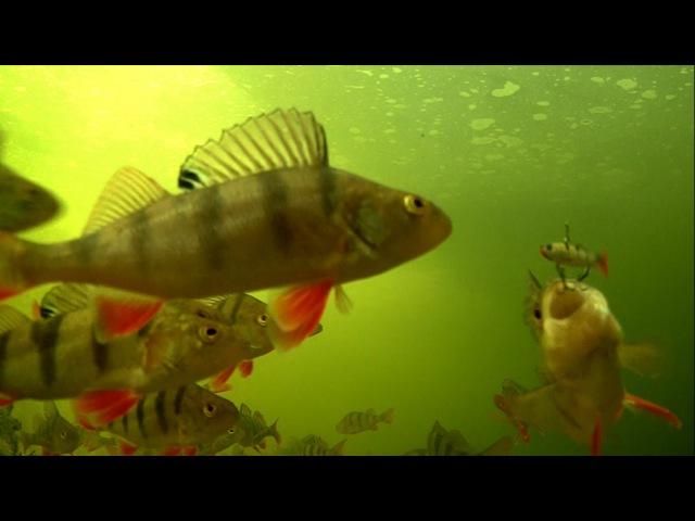 How to catch perch fish on Izumi Fly Petty and film it underwater. Рыбалка окунь поводная съёмка