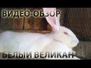 Лучшие большие породы кроликов: Белый Великан.