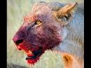 Страшный лев в Якутии, чистое озеро и приколисты с подделками (КсейБакИнфо №1)