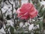 ERNESTO CORTAZAR - Autumn Rose