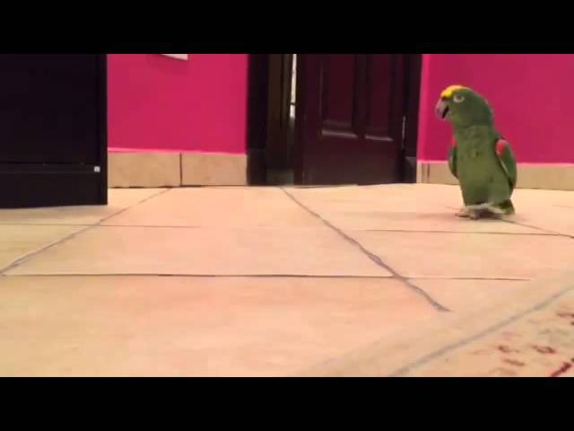 Попугай злодейски хохочет, пробравшись через закрытую дверь.