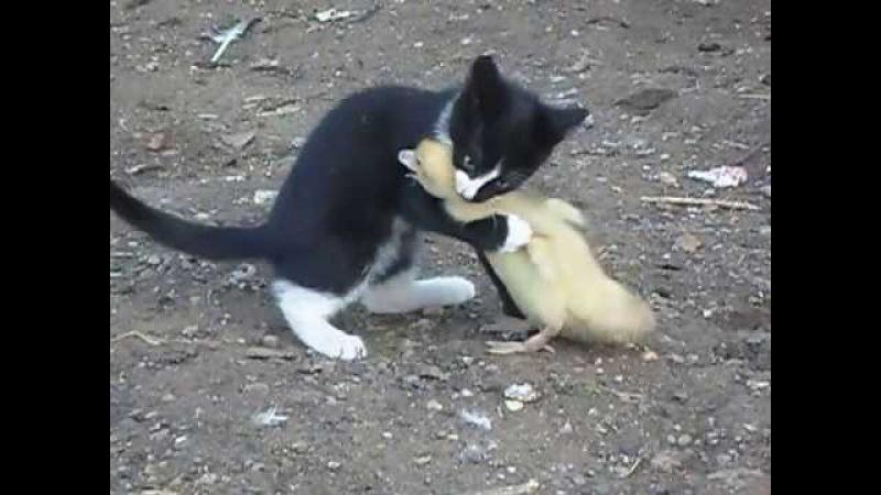 Бой,котенок vs индоутка,жесть,ржач,прикол 2013 смотреть до конца