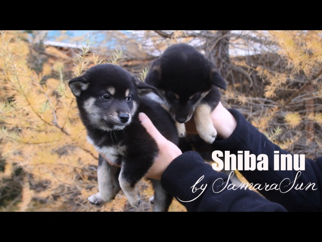 Щенки Сиба-ину | Shiba-inu Puppies | Autumn Edition