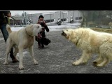 Kangal vs Caucasian ovcharka ( Top Strong dogs )