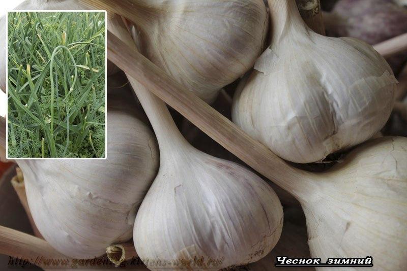 Сорта чеснока и их особенности